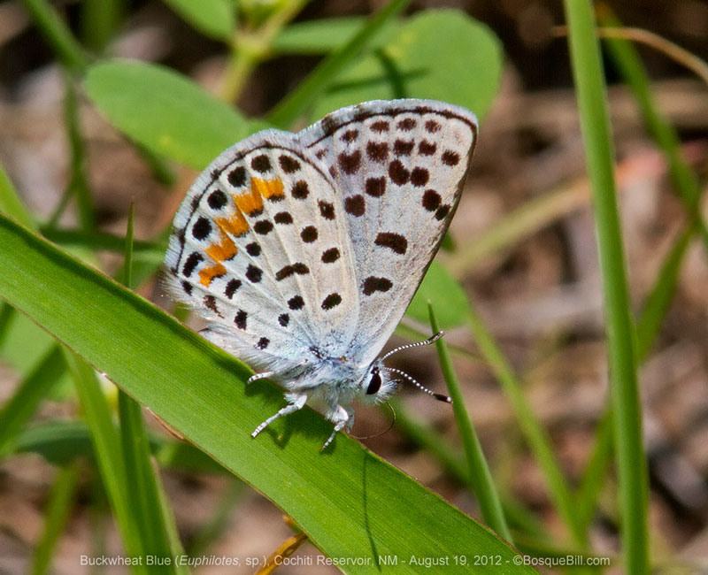 Buckwheat Blue butterfly
